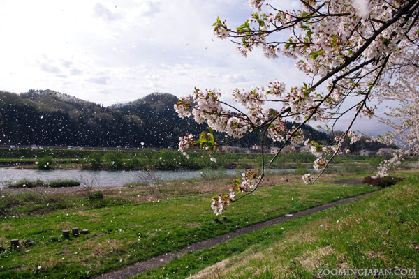 Spring in Japan: Hanafubuki, cherry blossom blizzard in Kakunodate