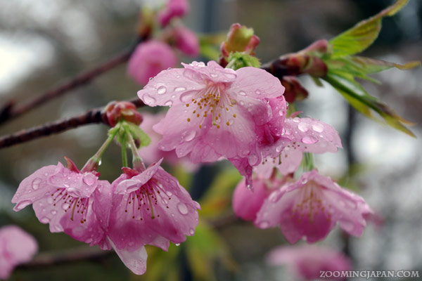 Spring in Japan: soaked cherry blossoms