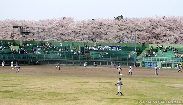 Spring in Japan: Baseball Game and Cherry Blossoms in Yamagata