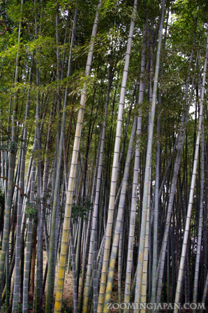 Bamboo forest in Hirado