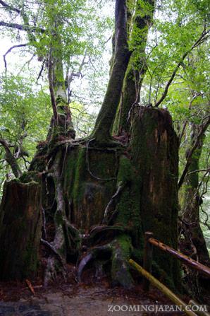 Yakushima Yakusugi Land