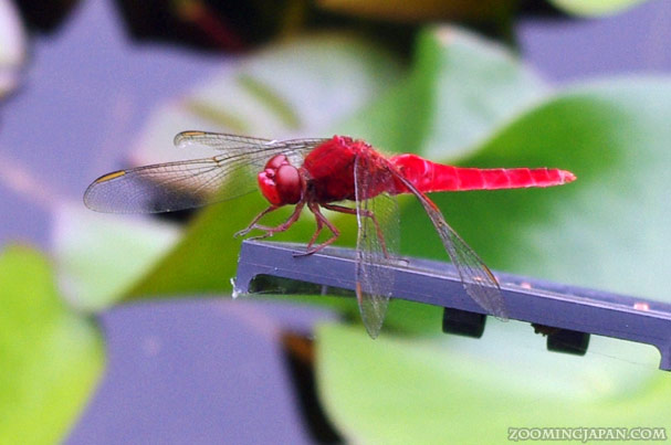 Aka Tombo: The Red Dragonfly