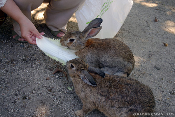 Rabbit Island Japan - Okunoshima