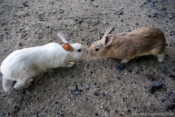 Rabbit Island Japan Okunoshima