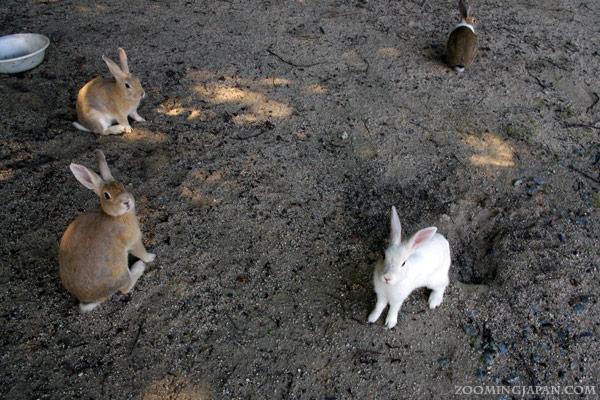 Rabbit Island Japan - Okunoshima