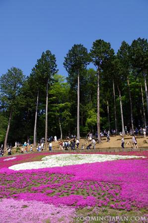 Shibazakura at Hitsujiyama Park in Chichibu