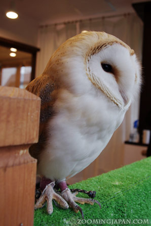 Owl Cafe in Harajuku