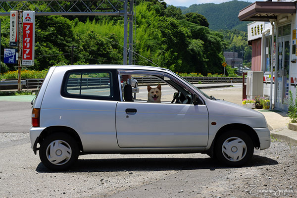 Japanese dog driving a car??!! Japanese driver's license!