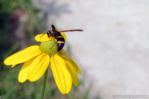 One of the many bee-like insects in Japan.