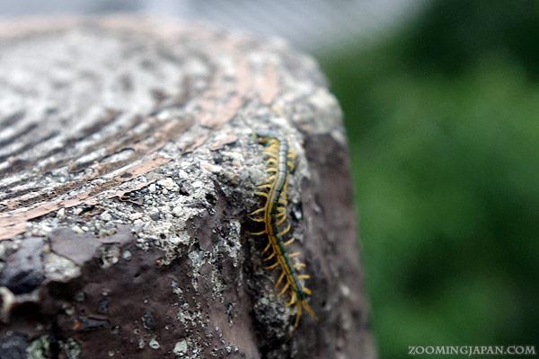 A centipede in Japan
