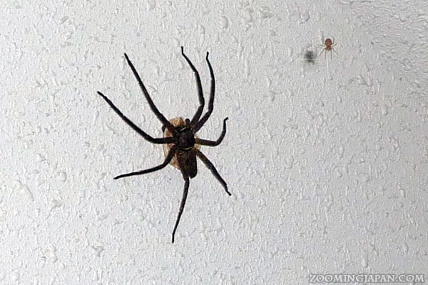 Huntsman spider in Japan