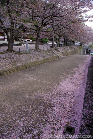 hanafubuki cherry blossom blizzard in Japan