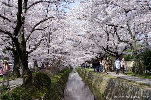 When is the best time to view cherry blossoms in Japan""