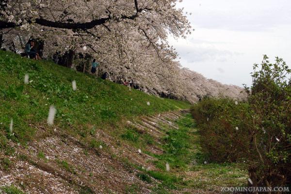 Cherry blossoms in Kakunodate, Akita