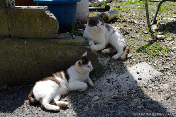 Cats of Tashirojima, Cat Island
