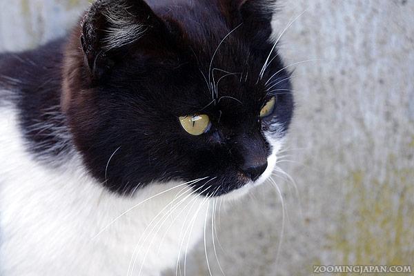 Cat on Cat Island, Tashirojima, Japan