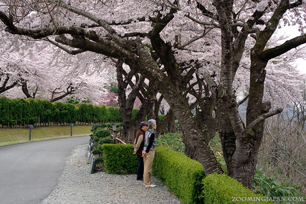 cherry blossoms in Yamagata