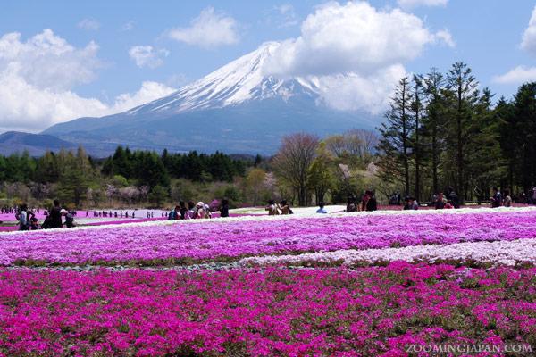 Fuji Shibazakura Festival Kawaguchiko