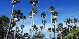 Palm trees in Miyazaki, Aoshima