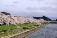 Cherry blossoms in Kakunodate, Akita Prefecture in early May