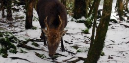 Yakushika - a deer in Yakushima's Shiratani Unsuikyo primeval forest