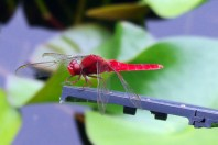 The red Dragonfly (aka tombo), photo taken in Kokoen Garden near Himeji Castle