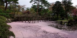 Senshu Park in Akita: Pond filled with cherry blossom petals