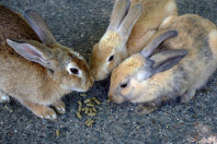 Rabbit Island Japan: Okunoshima